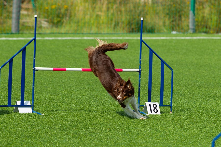 Agility Dogs, Sudbury, Suffolk